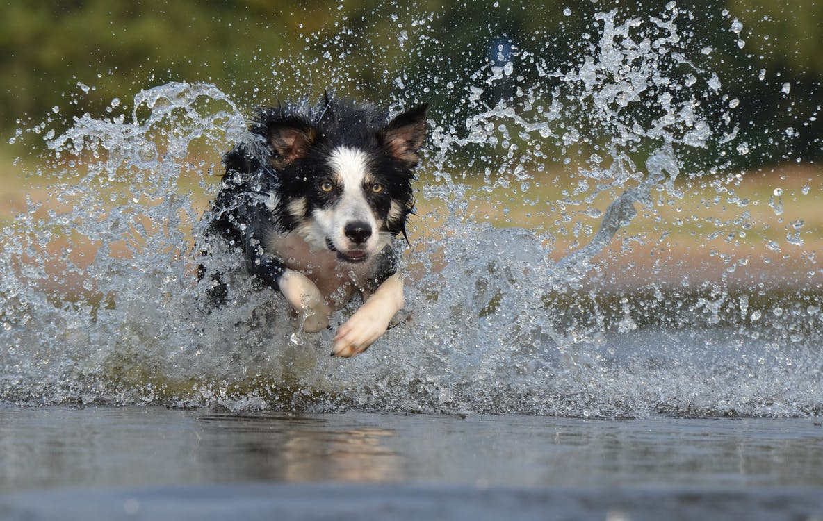 border-collie-jump-water-british-sheepdog-37860