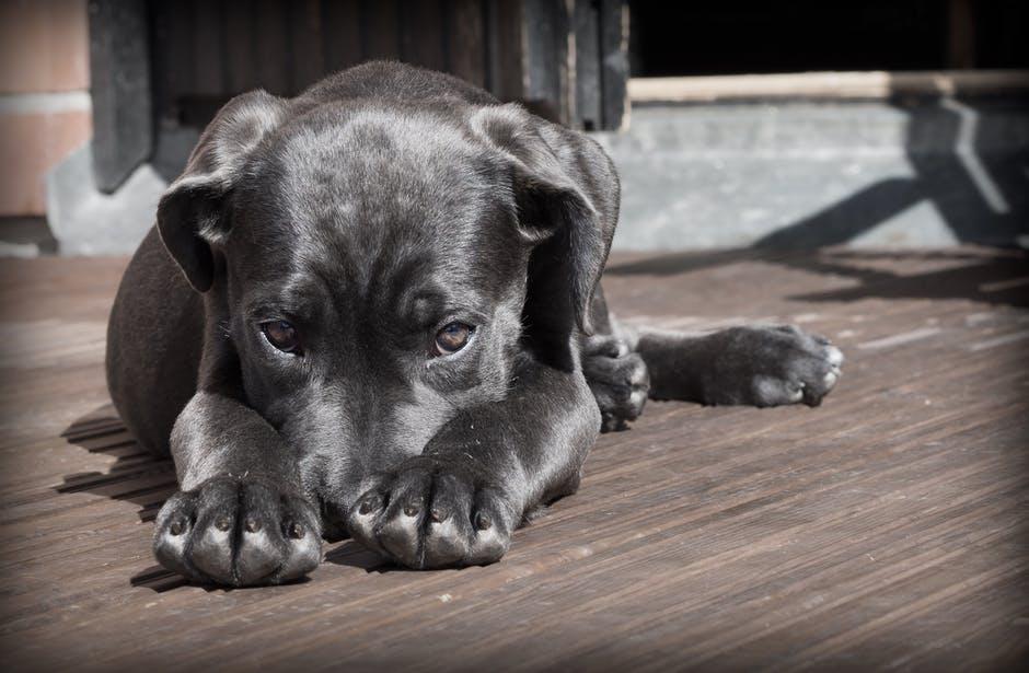 pet-dog-puppy-the-shy-52997